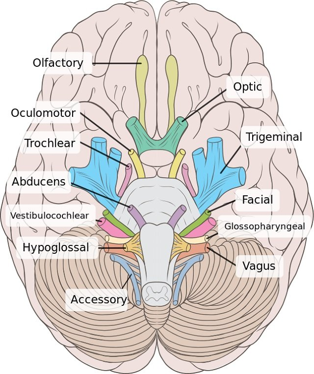 pairs of cranial nerves