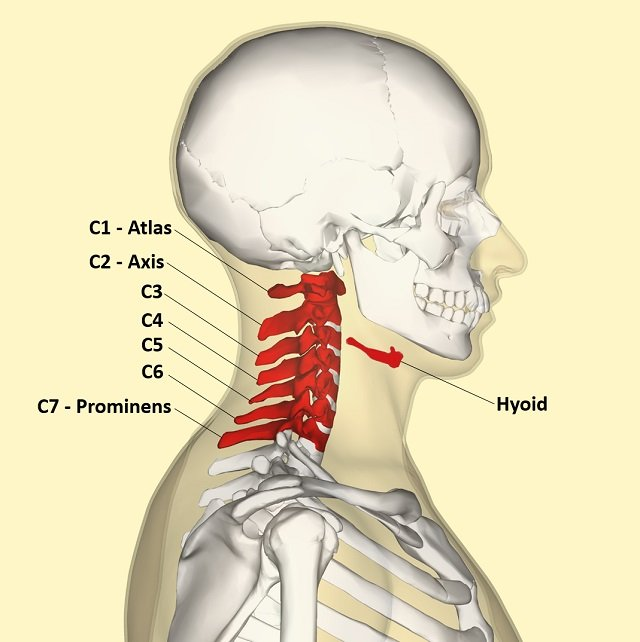 How many bones are in the neck? | Learner trip