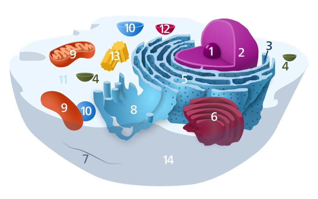 Organelles of the animal cell